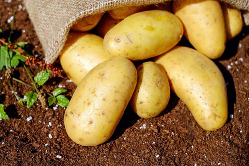 Сертификация картофеля
